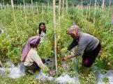 Tomato farmers (North Sumatra, 2012)